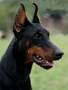 Karma-protection-trained-import-dobermann2.jpg