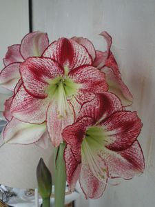 Amaryllis full bloom 9