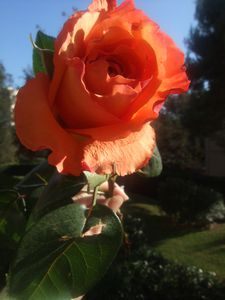 mes roses 004