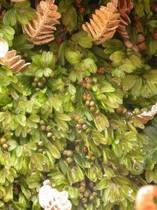 Hymenophyllum peltatum10