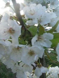 floraisons2