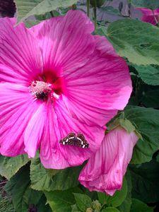 Hibiscus-moscheutos--Southern-Belle-.jpg