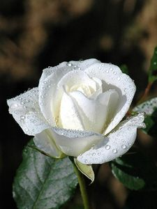 White rose covered with dew