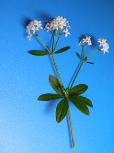 Aspérule odorante (gaillet odorant)