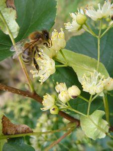 abeille sur tilleul2