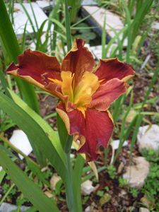 Iris Louisiana Hot and Spicy profil