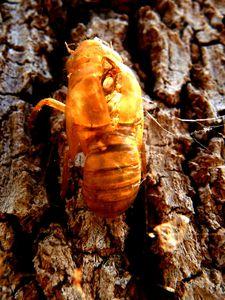 Mue d'abeille, Kununurra, WA