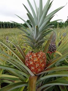 ananas-copie-1.jpg