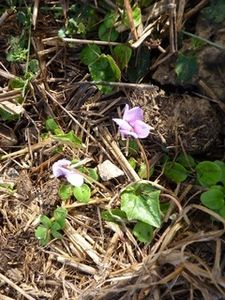 mini-cyclamen-rose.jpg