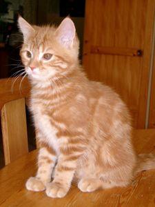 chaton-roux.jpg