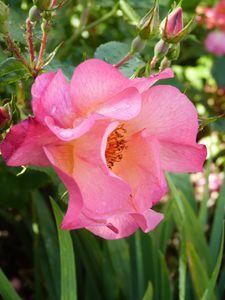 rosier Yann Artus Bertrand - fleur