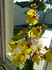 Oncidium Sweet Sugar Empire (10)