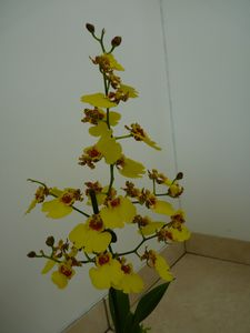 Oncidium Sweet Sugar Empire (2)