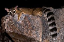 arizona Ringtail-Phoenix-AZ