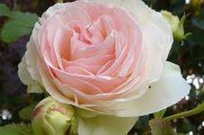 Roses-014