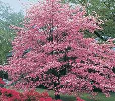 MISSOURI Graines Cornus Florida Rubra Seeds Dogwood Seeds G