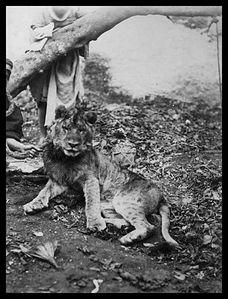 chasse-lion.jpg