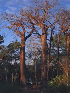 Andasonia madagascariensis