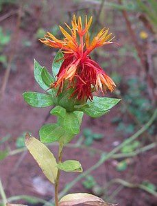 Indian-Paintbrush-2-sept-12.jpg