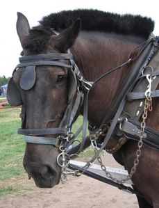 percheron-in-harness-laurie-with.jpg