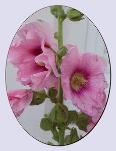 roses-tremieres-0053.jpg