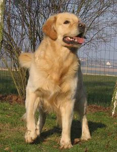 golden-retriever-deboutident77.jpg