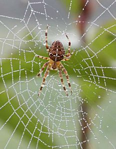 araign-egrosplan.jpg