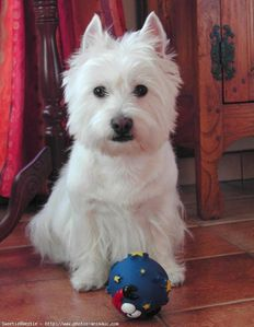 161868-animaux-chiens-west_highland_white_terrier.jpg