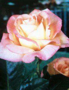 rose-hybride-the-peace.jpg