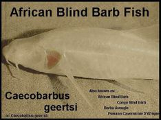 theafricanblindbarb-copy-1