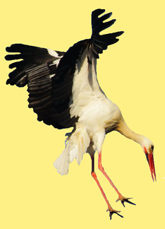 animal-oiseau-Cigogne-blanche-00-art-copie-1.png