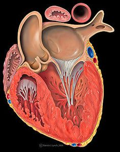 250px-Heart_left_ventricular_outflow_track.jpg