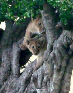 lionceaux arbres
