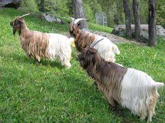 Chèvre col fauve2 photo Prospecierara