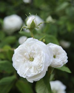rose-damas-blanche.jpg