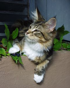 Young_Maine_Coon_Male.jpg