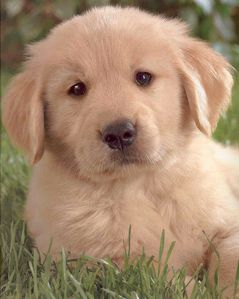 golden-20retriever.jpg
