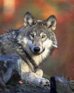 placentaire Canis lupus