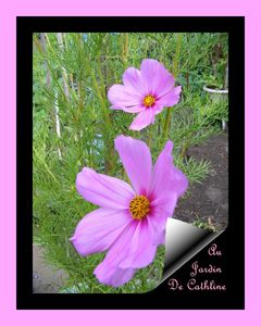 cosmos-rose-pale.jpg