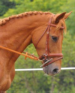 521773-animaux-chevaux-selle_francais.jpg