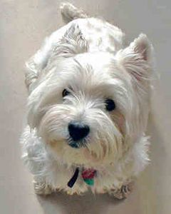 west-highland-white-terrier-0097.jpg