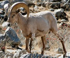 nevada desert bighorn sheep