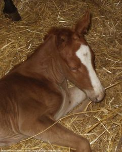 287612-animaux-chevaux-selle_francais.jpg
