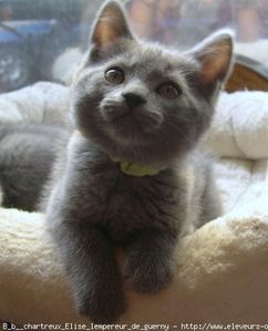 371773-animaux-chats-chartreux.jpg