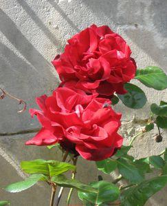 Roses et lumière