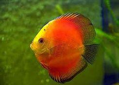Pourquoi les poissons d 39 eau douce ne peuvent ils pas for Poisson eau douce pas cher