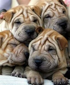 chinese-shar-pei-puppies410ok.jpg