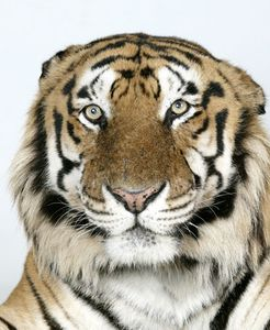 1-Raja-a-16-year-old-male-standard-royal-Bengal-tiger