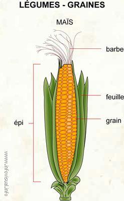 049-Legumes-graines--1-.jpg