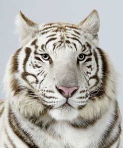 15-Narayana-a-three-year-old-male-snow-white-Bengal-tiger